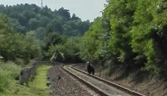 <em>Hír szerkesztése</em> Medvét filmeztek Arad és Pécska között [VIDEÓ]
