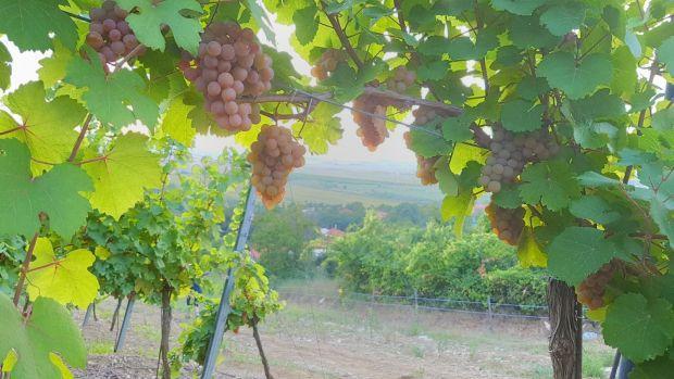<em>Hír szerkesztése</em> Jó évjáratra számítanak a hegyaljai bortermelők [AUDIO]