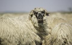 <em>Hír szerkesztése</em> Bárányhúsból nem lesz hiány húsvétra [AUDIO]