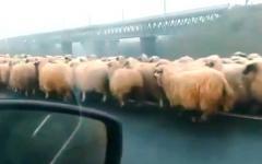 <em>Hír szerkesztése</em> Autópályahídon terelte nyáját egy konstancai pásztor [VIDEO]