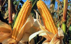 <em>Hír szerkesztése</em> Első osztályú a kukoricatermés, de minek? [AUDIÓ]