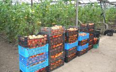 <em>Hír szerkesztése</em> Elindult a paradicsom-termesztési támogatási program